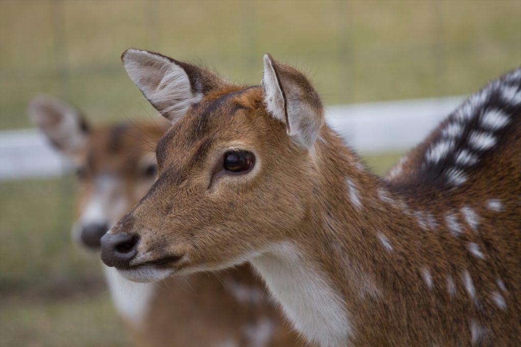 望遠レンズで撮った鹿